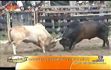 วัวชน